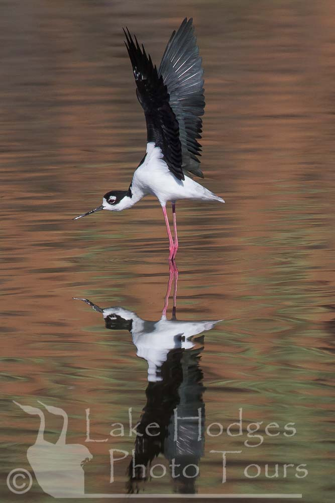 Black Necked Stilt at Lake Hodges Photo Tours, CA, USA
