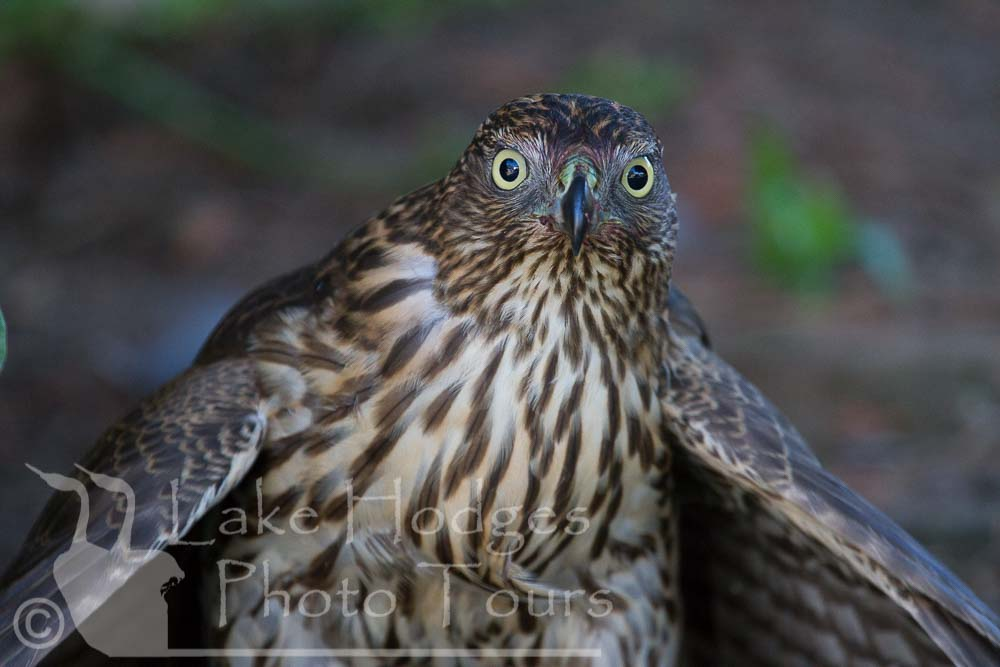 Cooper's Hawk mantling, immature at Lake Hodges Photo Tours, CA, USA