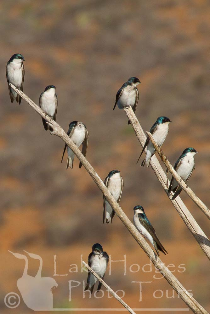 Tree Swallows at Lake Hodges Photo Tours, CA, USA