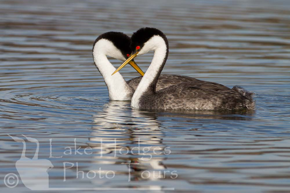 Western Grebe Couple at Lake Hodges Photo Tours, CA, USA