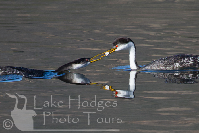 Western Grebe Feeding time at Lake Hodges Photo Tours, CA, USA