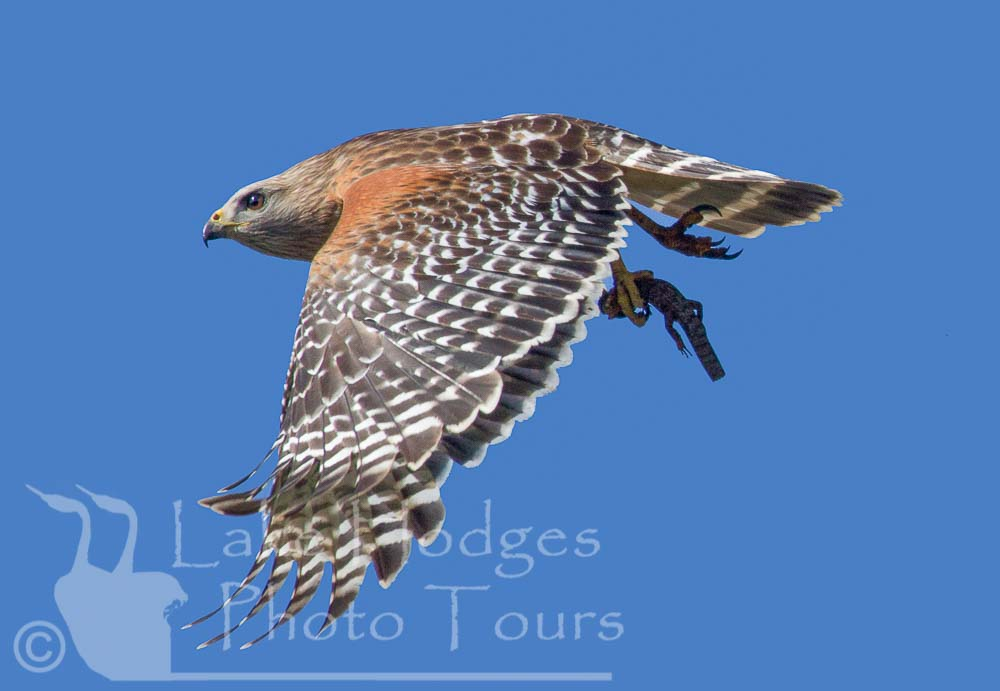 Red Shouldered Hawk with lizard at Lake Hodges Photo Tours, CA, USA
