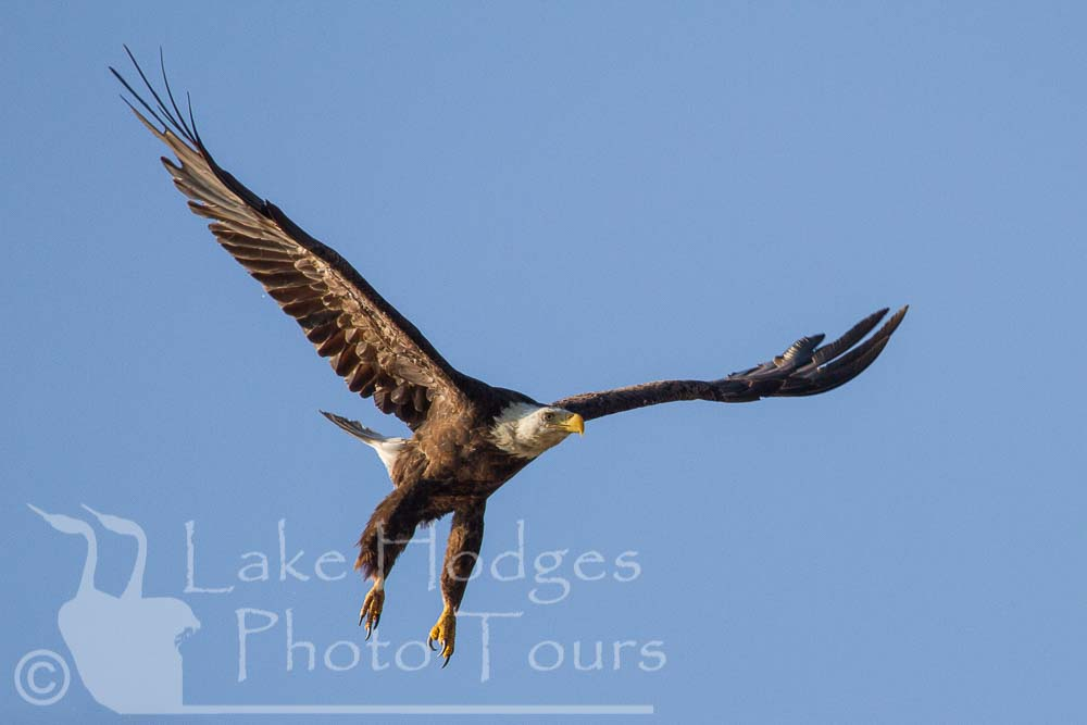 Bald Eagle at Lake Hodges Photo Tours, CA, USA