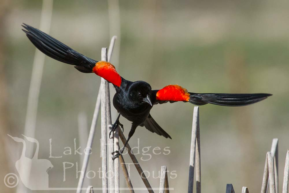 Red Winged Blackbird at Lake Hodges Photo Tours, CA, USA