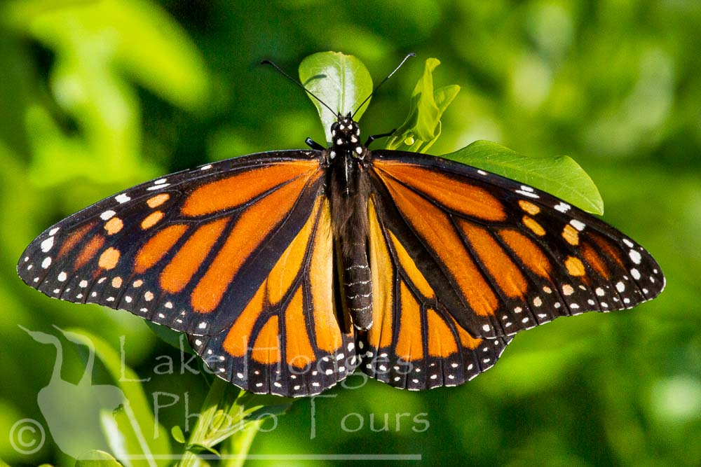 Monarch Butterfly at Lake Hodges Photo Tours, CA, USA
