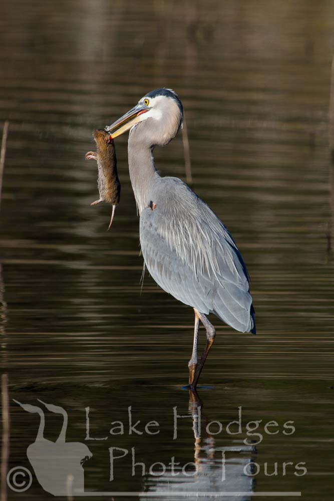 Great Blue Heron with Gopher at Lake Hodges Photo Tours, CA, USA