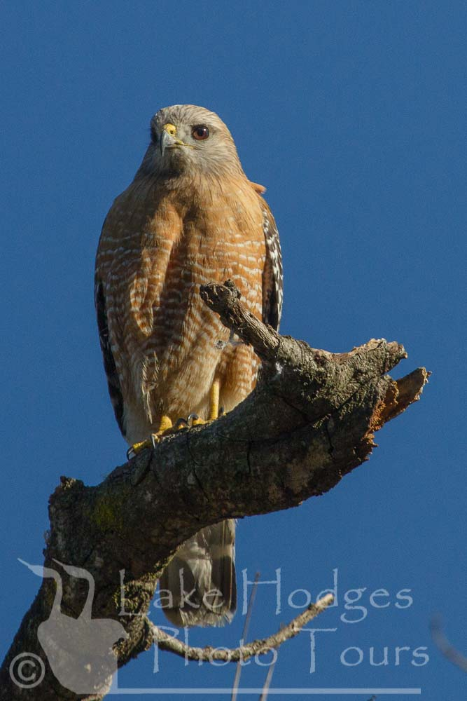 Red Shouldered Hawk, female at Lake Hodges Photo Tours, CA, USA
