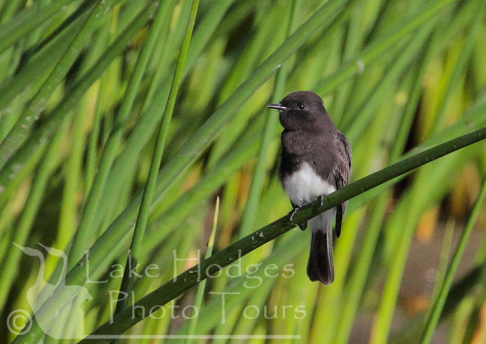 Phoebe Flycatcher at Lake Hodges Photo Tours, CA, USA