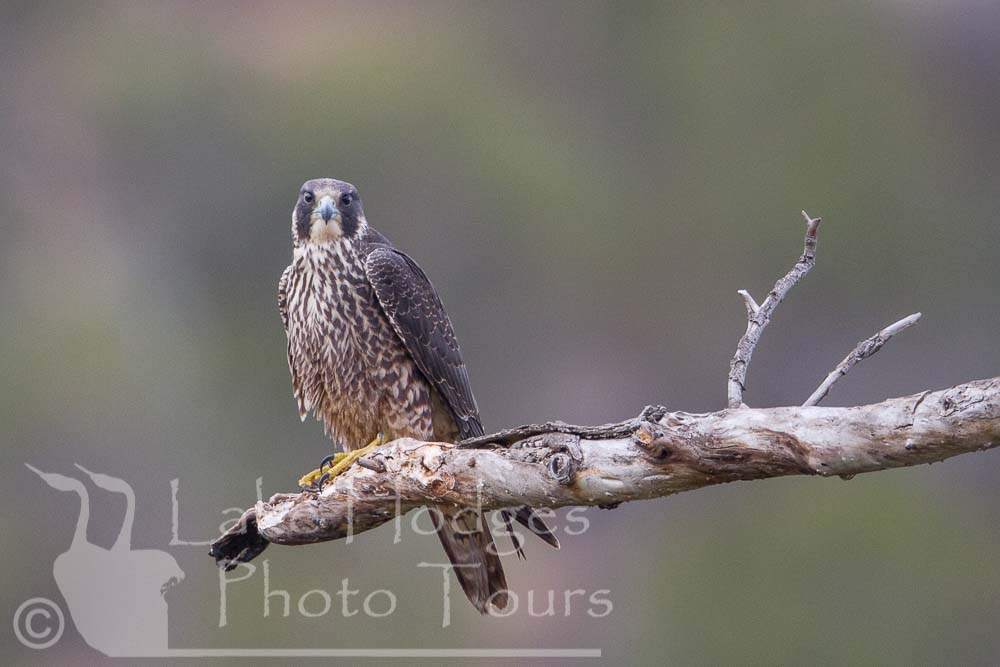 Peregrine Falcon, immature at Lake Hodges Photo Tours, CA, USA