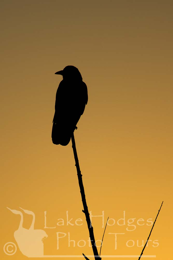 Crow at sunrise at Lake Hodges Photo Tours, CA, USA