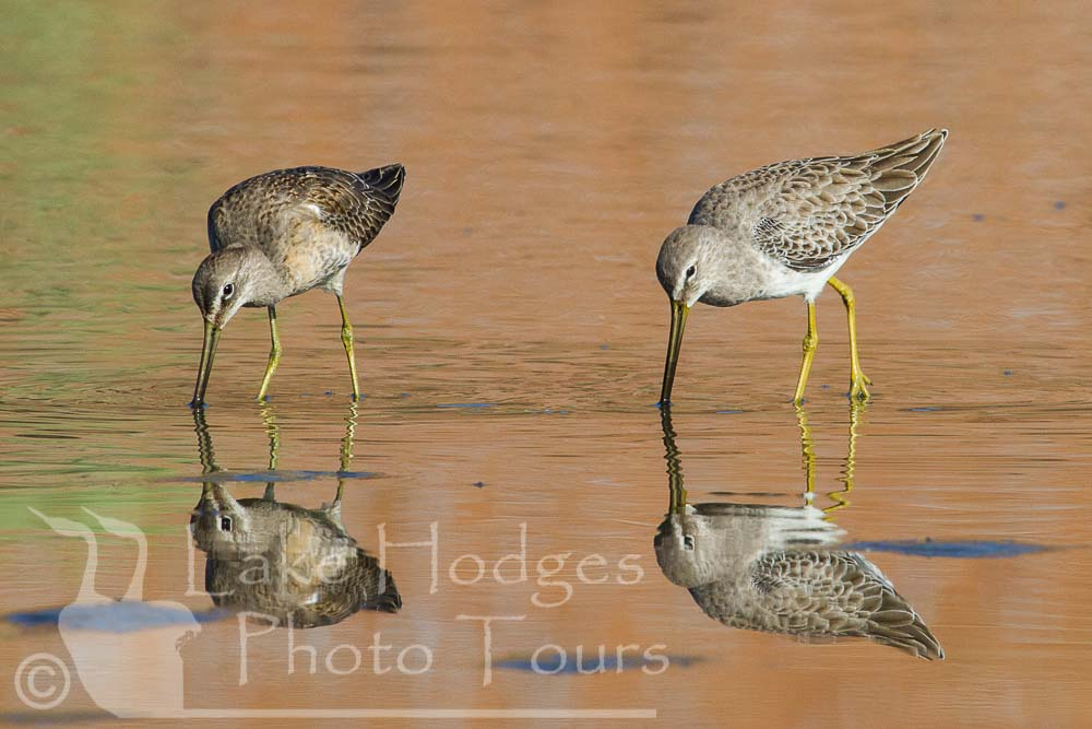 Long Billed Dowitchers at Lake Hodges Photo Tours, CA, USA