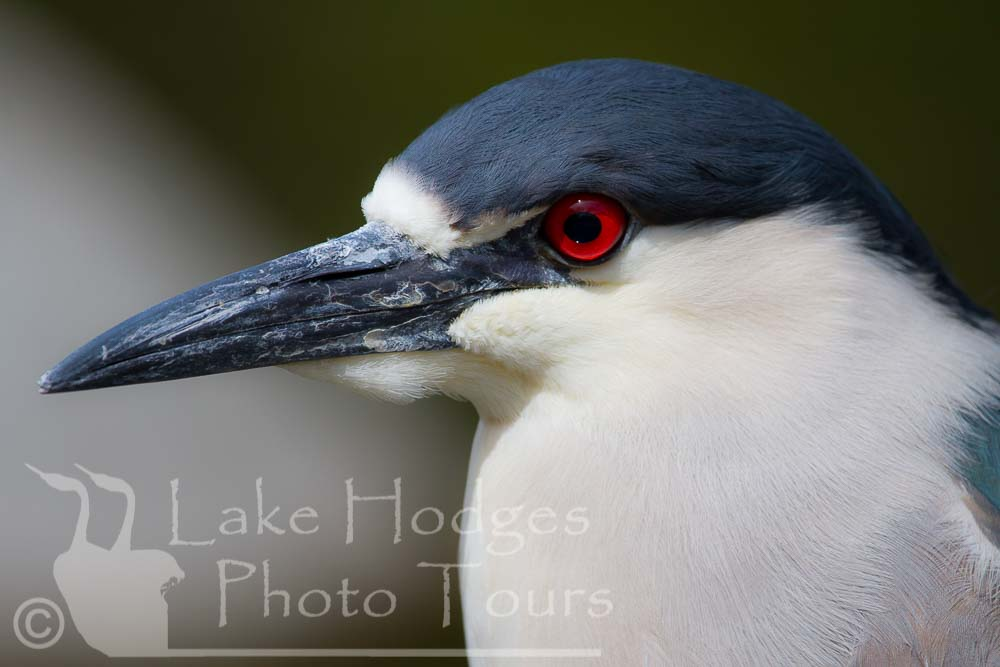 Black Crowned Night Heron at Lake Hodges Photo Tours, CA, USA