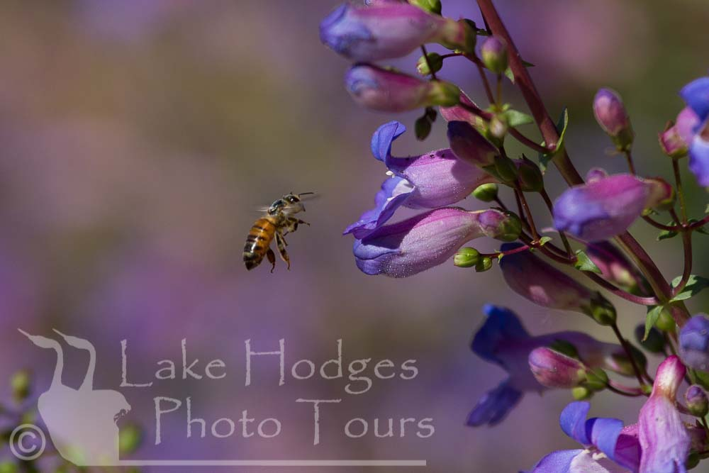 Honey Bee at Lake Hodges Photo Tours, CA, USA