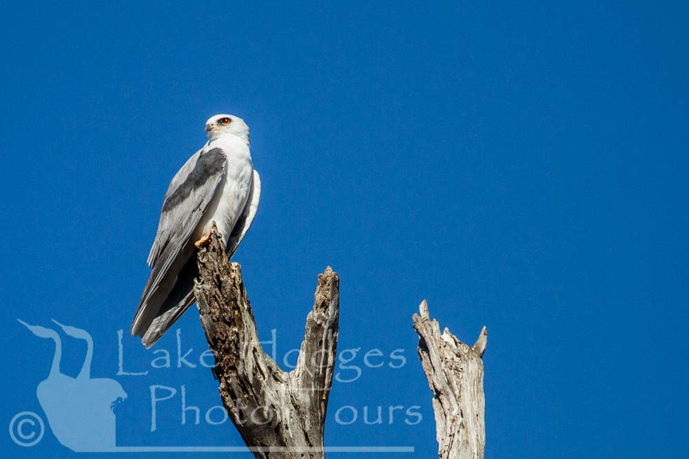 White Tailed Kite at Lake Hodges Photo Tours, CA, USA