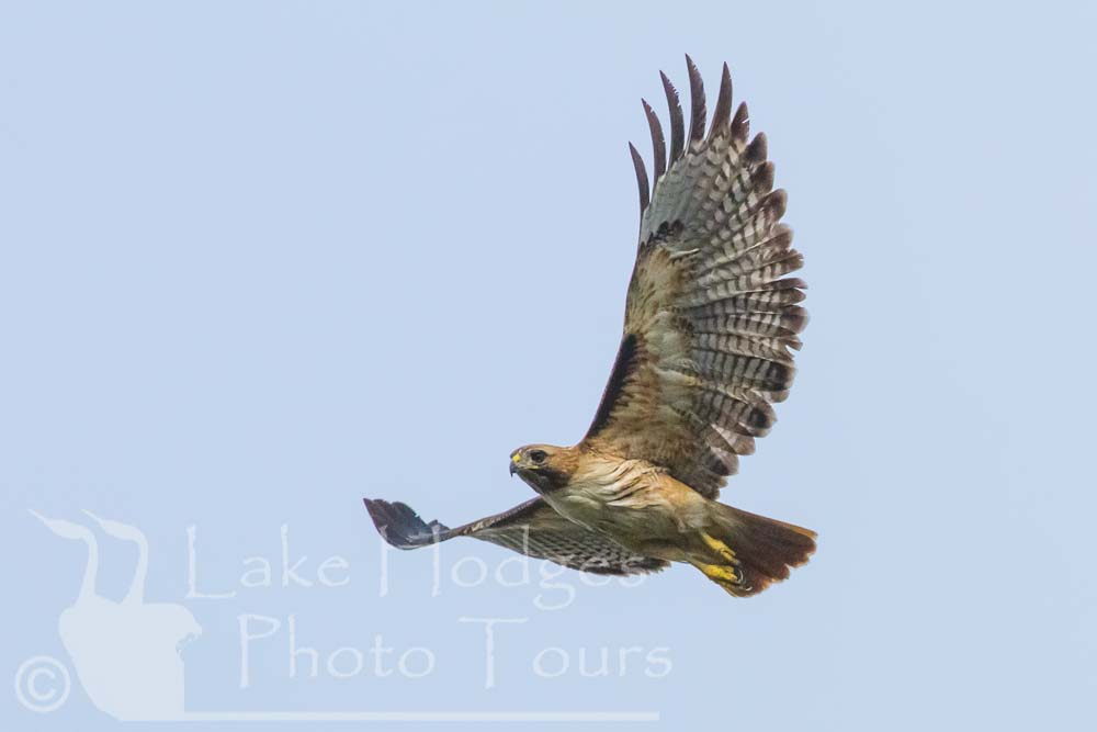 Red Tailed Hawk at Lake Hodges Photo Tours, CA, USA