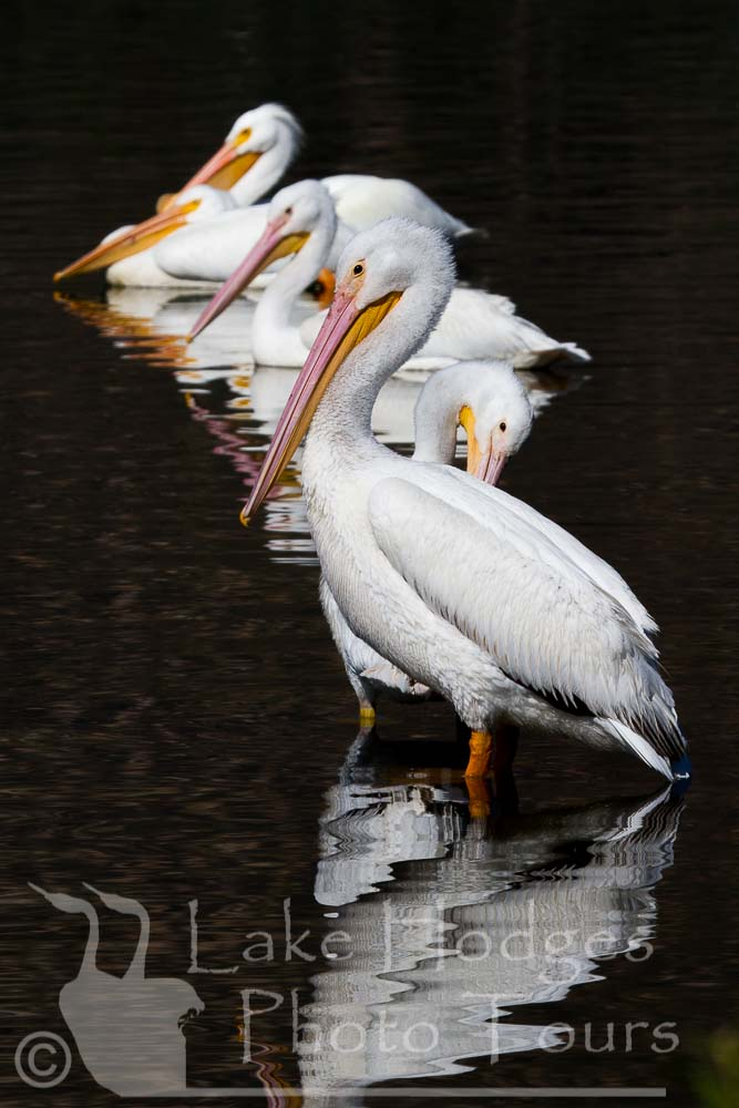 White Pelicans at Lake Hodges Photo Tours, CA, USA