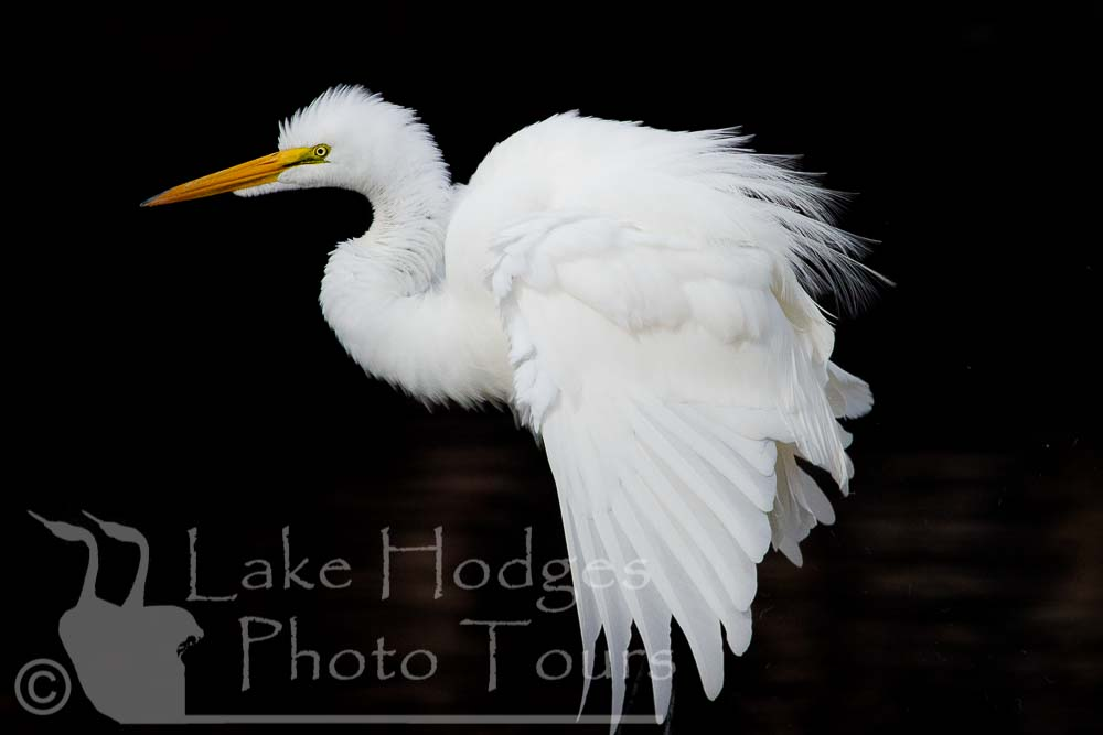 Great Egret at Lake Hodges Photo Tours, CA, USA