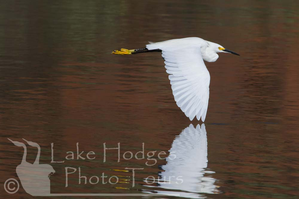 Snowy, (lesser) Egret at Lake Hodges Photo Tours, CA, USA