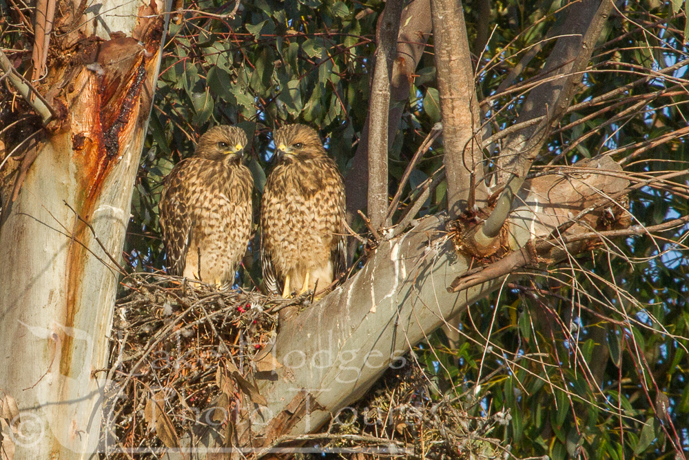 Red Shouldered Hawk chicks about to Fledge at Lake Hodges Photo Tours, CA, USA