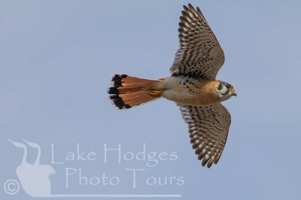 American Kestrel, male at Lake Hodges Photo Tours, CA, USA