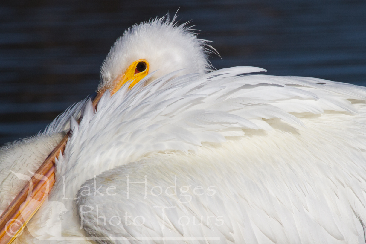 White Pelican at Lake Hodges Photo Tours, CA, USA