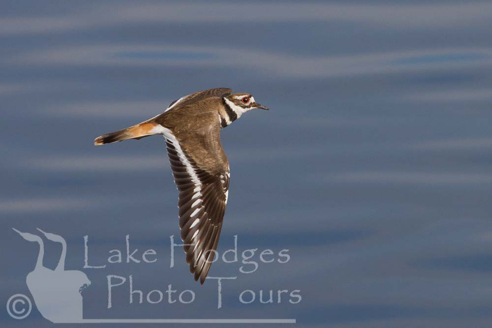 Killdeer at Lake Hodges Photo Tours, CA, USA