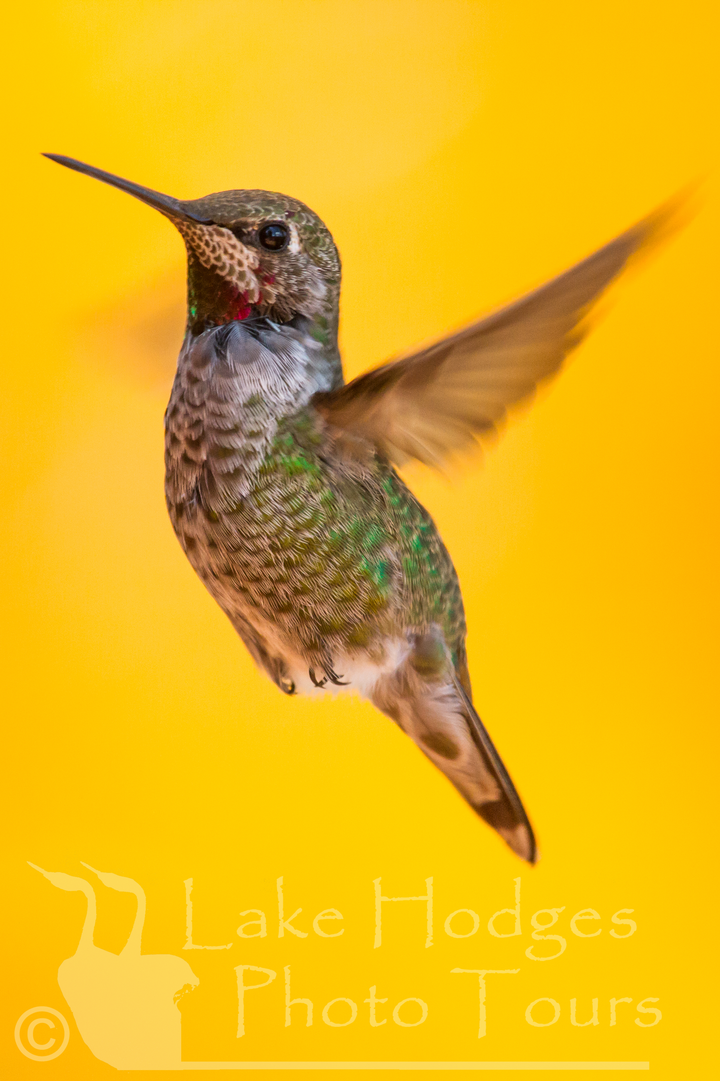 Anna's Hummingbird at Lake Hodges Photo Tours, CA, USA