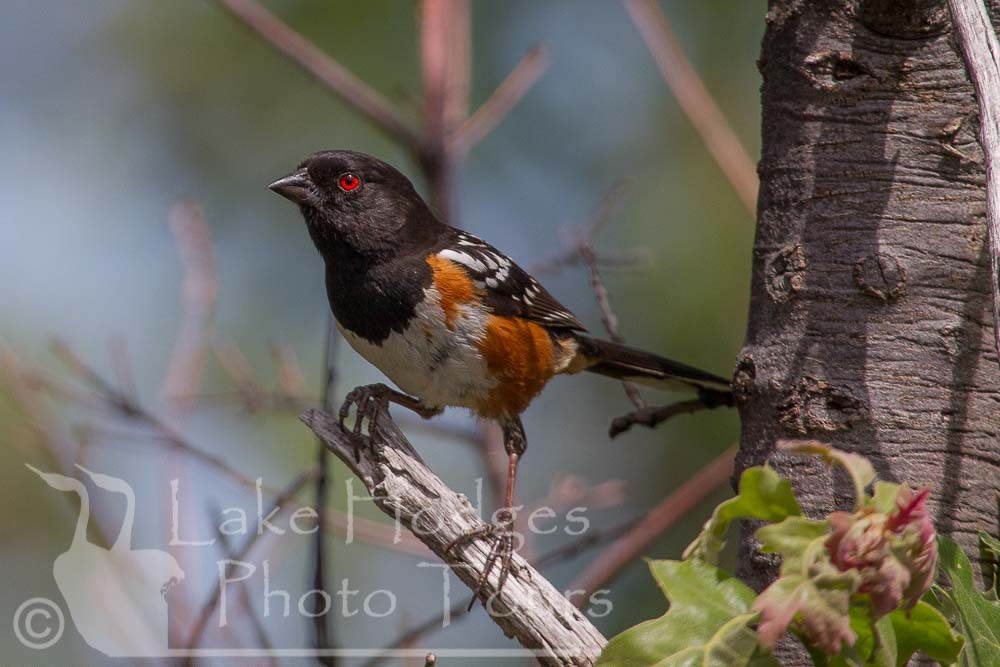 Spotted Towhee at Lake Hodges Photo Tours, CA, USA