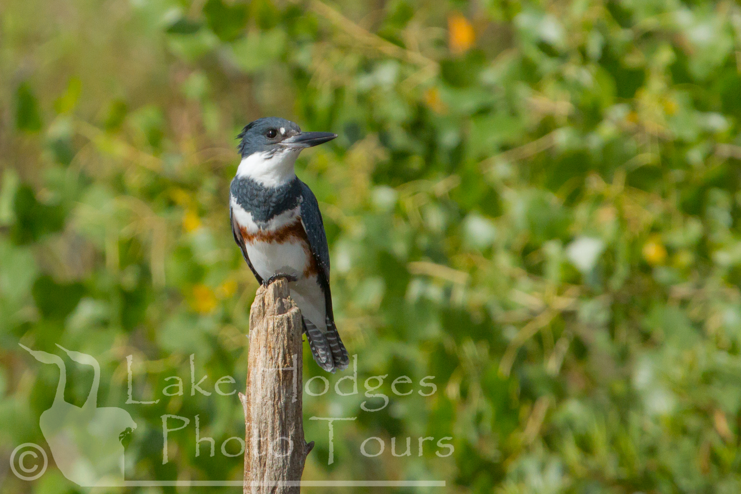 Belted Kingfisher, female at Lake Hodges Photo Tours, CA, USA