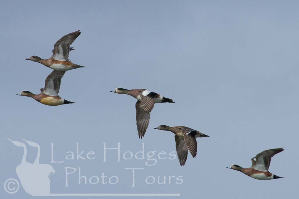 Wigeons at Lake Hodges Photo Tours, CA, USA