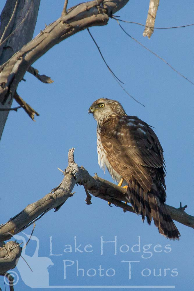 Merlin at Lake Hodges Photo Tours, CA, USA