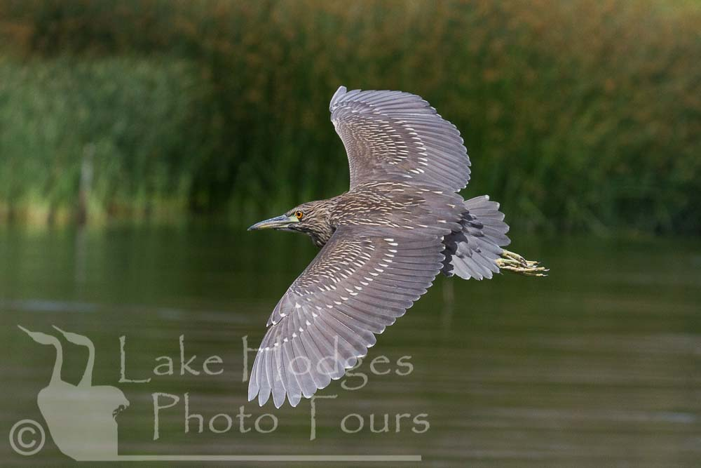 Black Crowned Night Heron, immature, at Lake Hodges Photo Tours, CA, USA