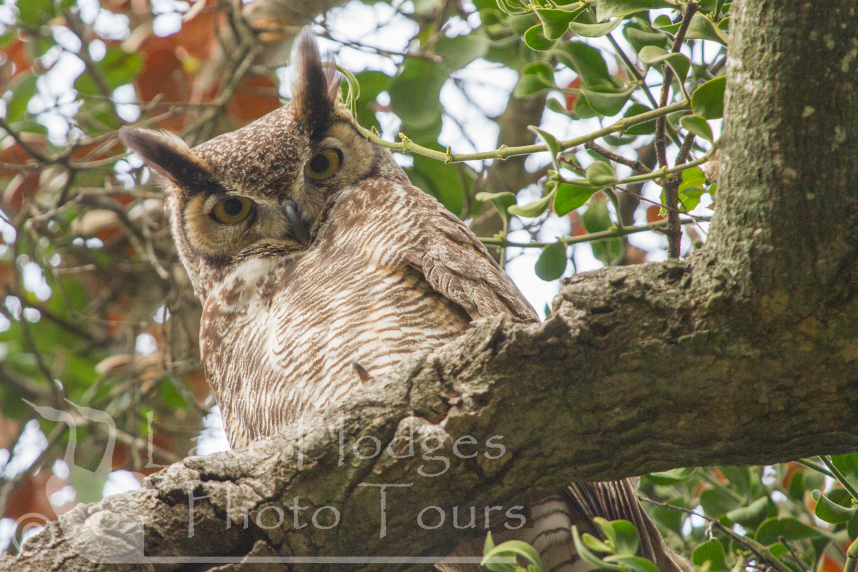 Great Horned Owl at Lake Hodges Photo Tours, CA, USA