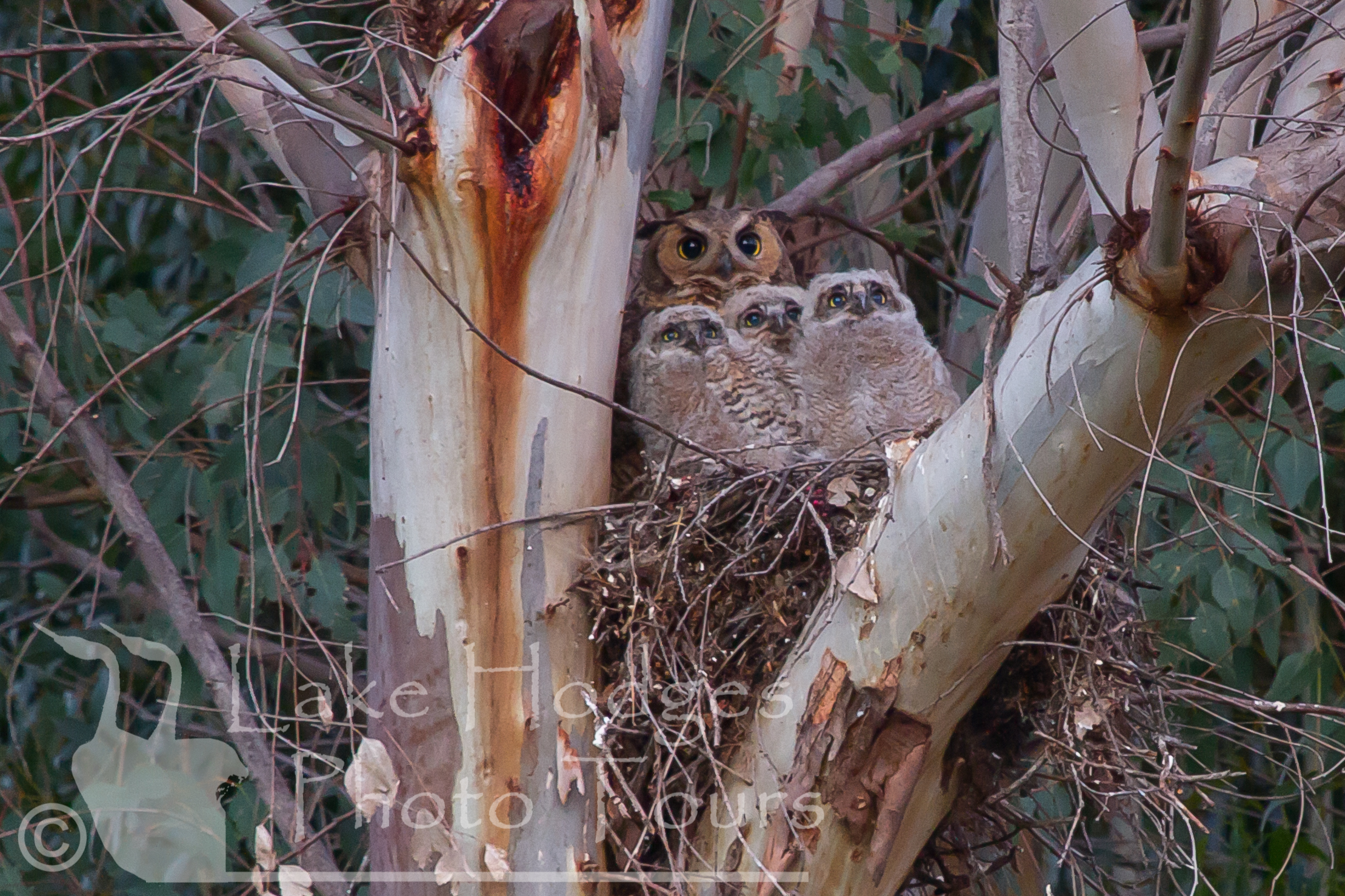 Great Horned Owl Chicks at Lake Hodges Photo Tours, CA, USA