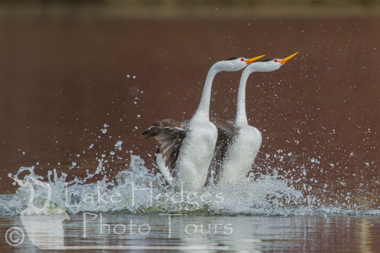 Rushing Clark's Grebes at Lake Hodges Photo Tours, CA, USA