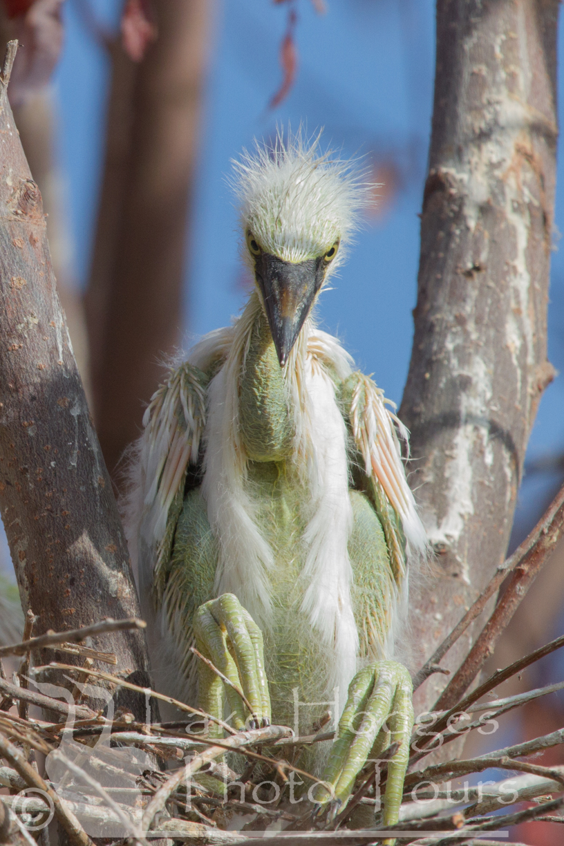 Snowy Egret Chick at Lake Hodges Photo Tours