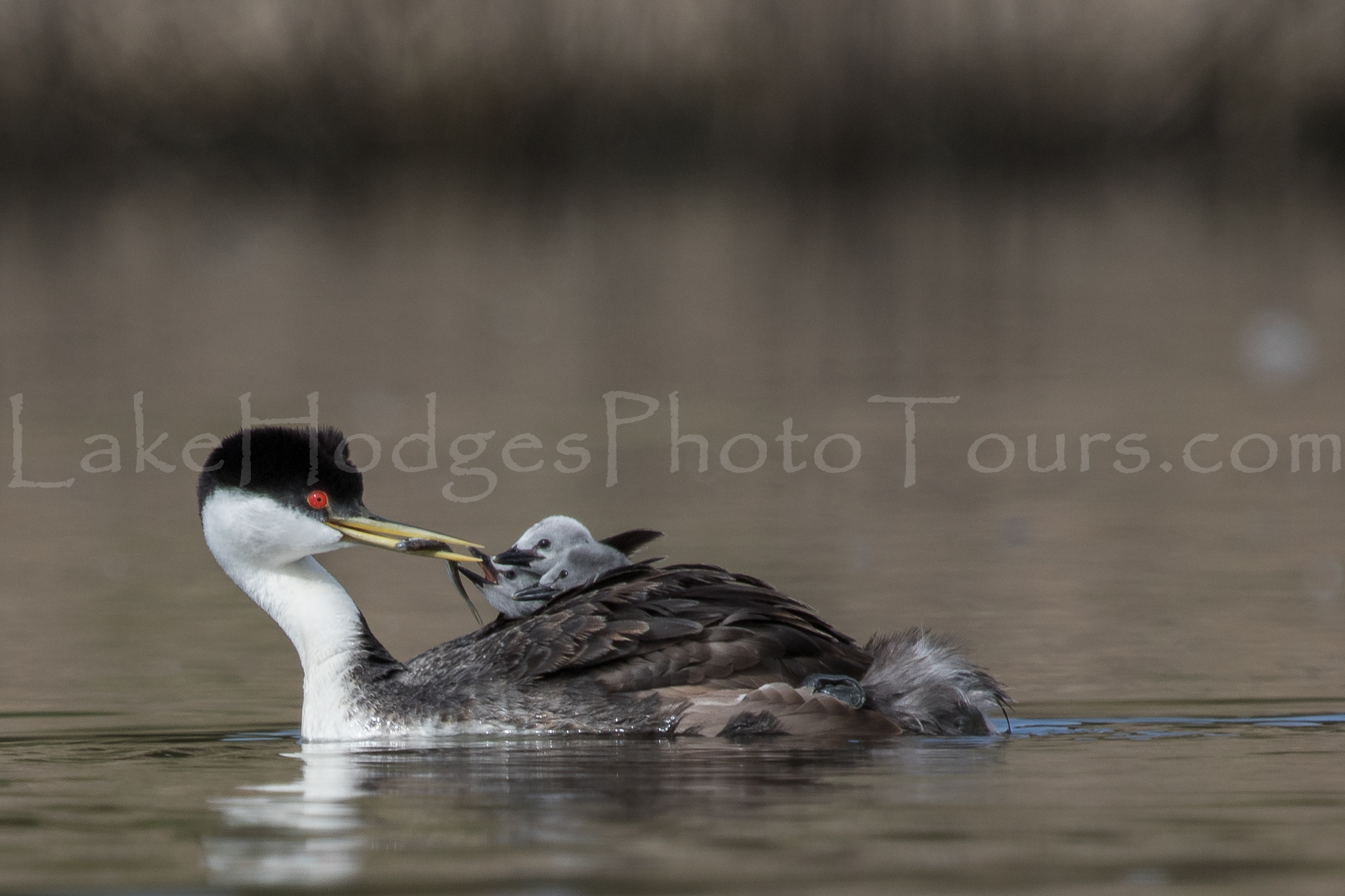 Western Grebe and chicks at Lake Hodges Photo Tours