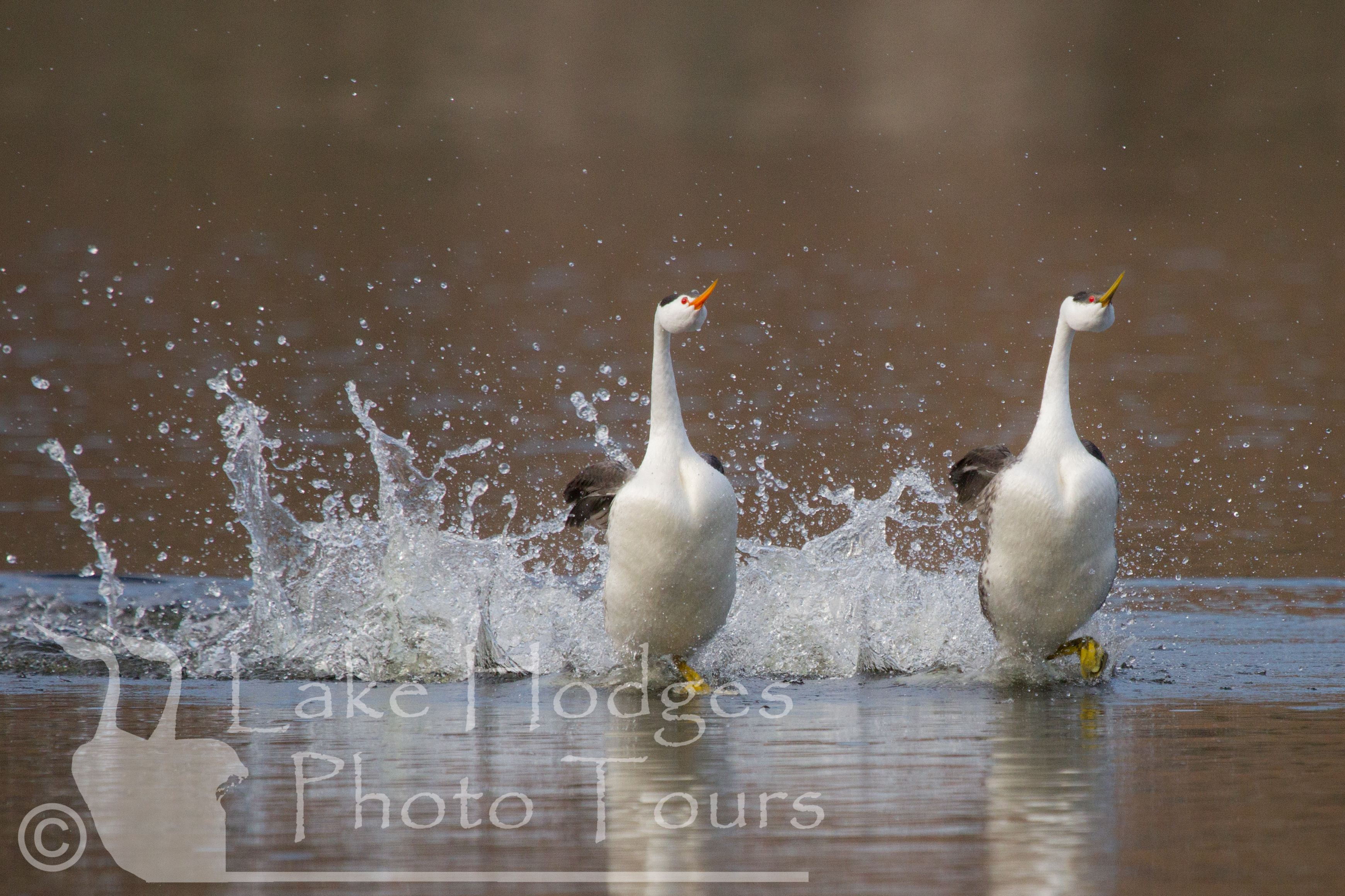 Clark's AND Western Grebes rushing together at Lake Hodges Photo Tours
