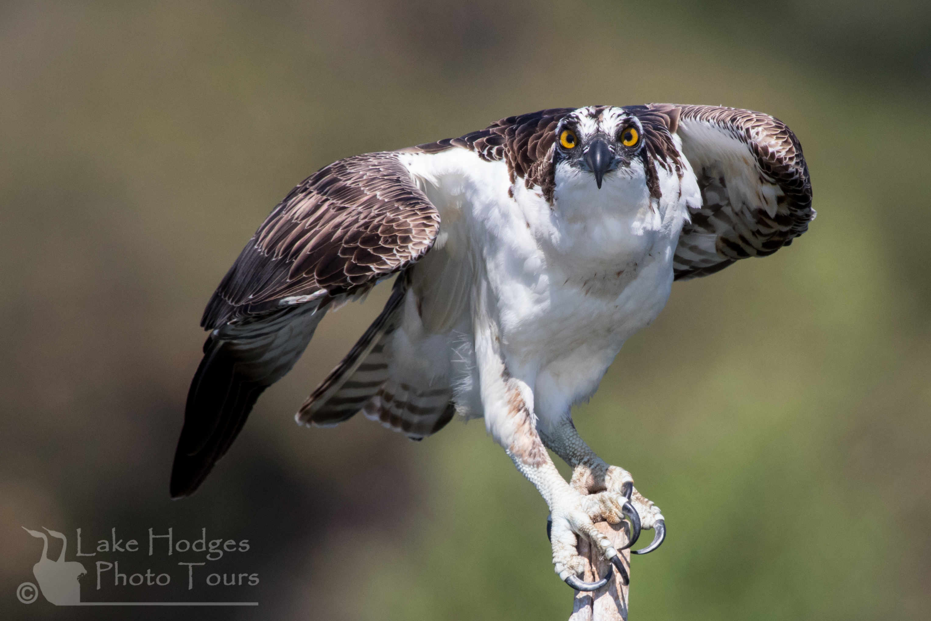 Osprey Talons at Lake Hodges Photo Tours, CA, USA
