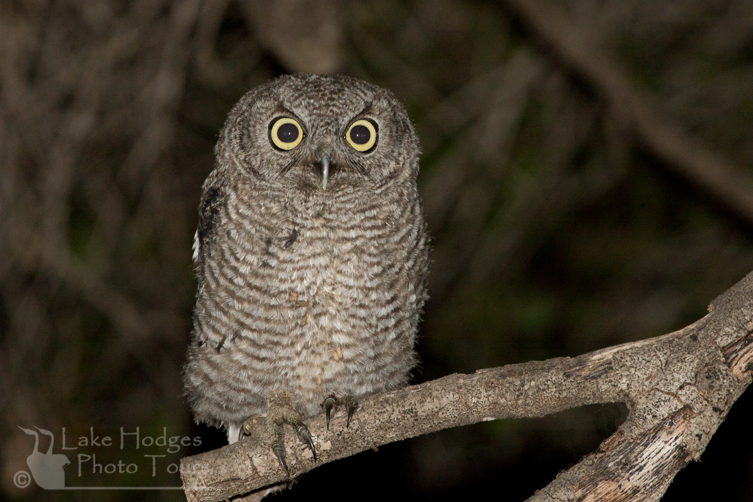 Western screech owlet at Lake Hodges Photo Tours, CA, USA