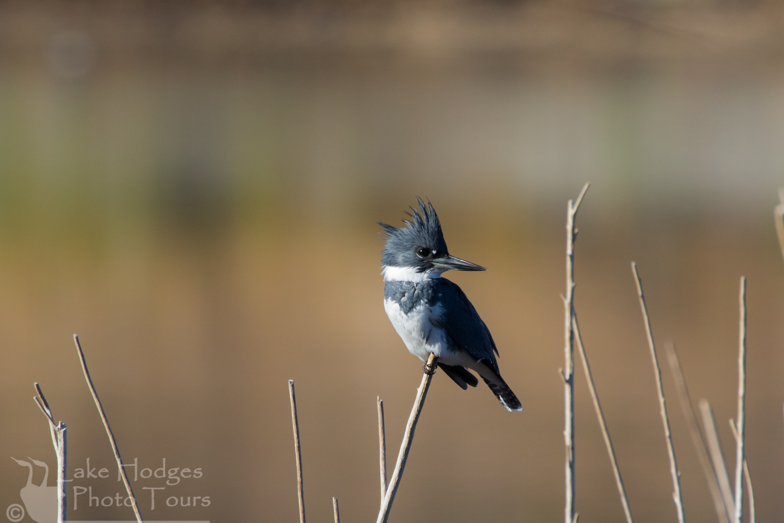 Belted Kingfisher at Lake Hodges Photo Tours