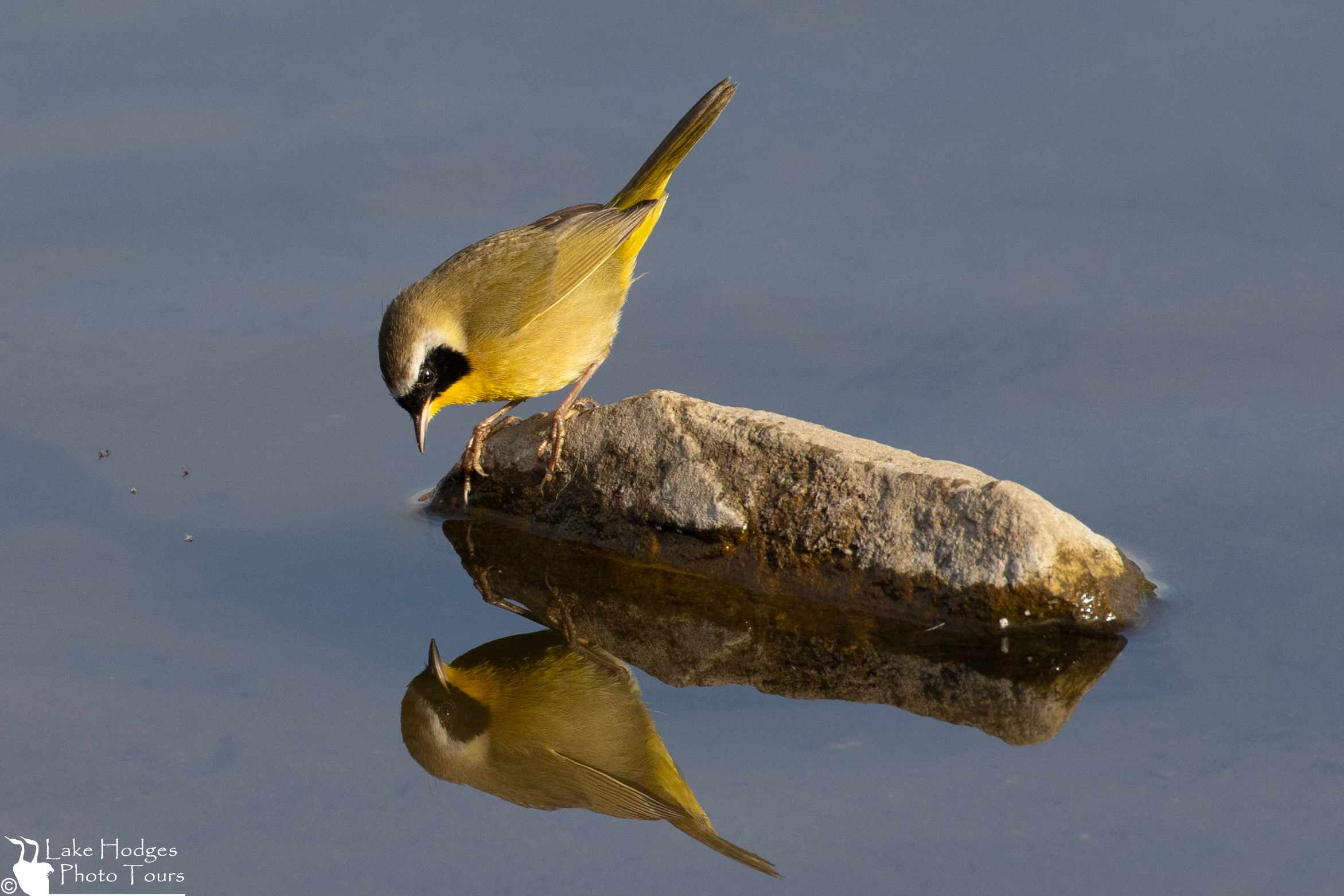 Boy, am I good looking or what! Common Yellowthroat at Lake Hodges Photo Tours