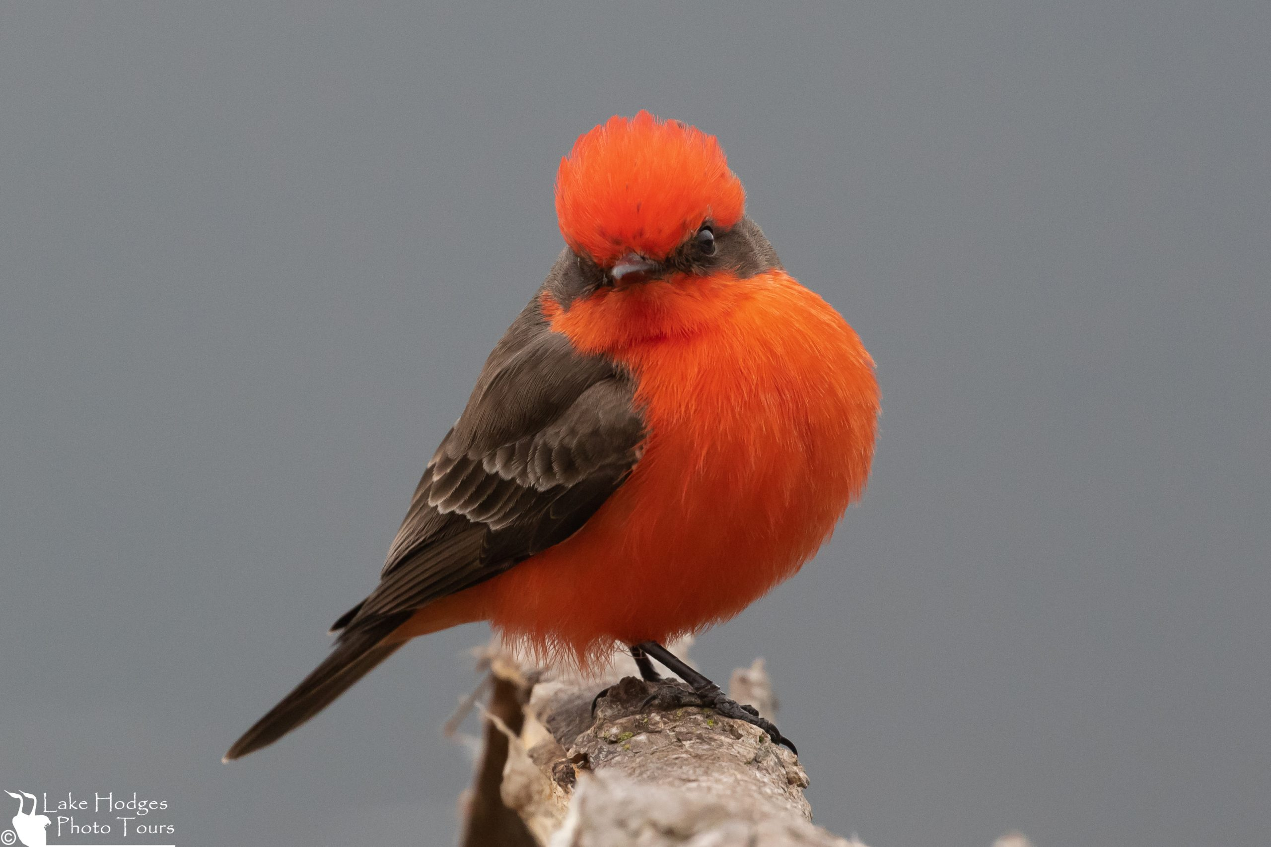 Vermillion Fly Catcher at Lake Hodges Photo Tours