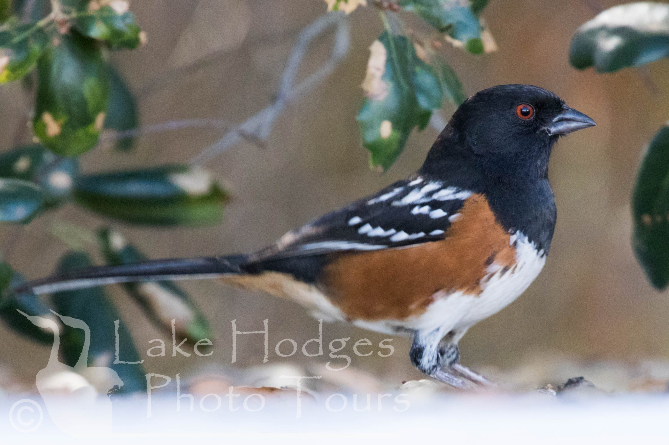 Spotted Towhee at Lake Hodges Photo Tours
